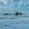 Seas otter & pup