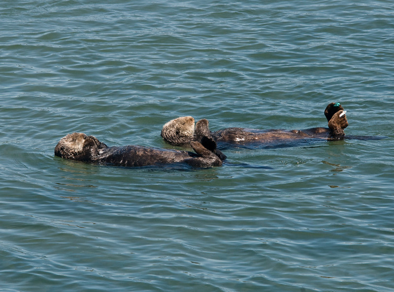 Southern sea otter.<br /> How many otters does it take to constitute a raft?