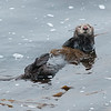 Sea otter - female