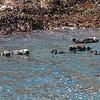 Raft of otters below big island