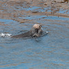Sea otters mating at Bird Island