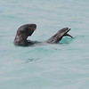 Otter in the surf zone