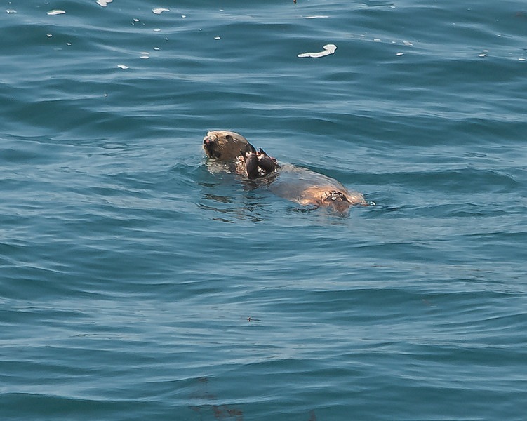 Sea otter and really big crab