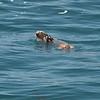 Sea otter and really big crab