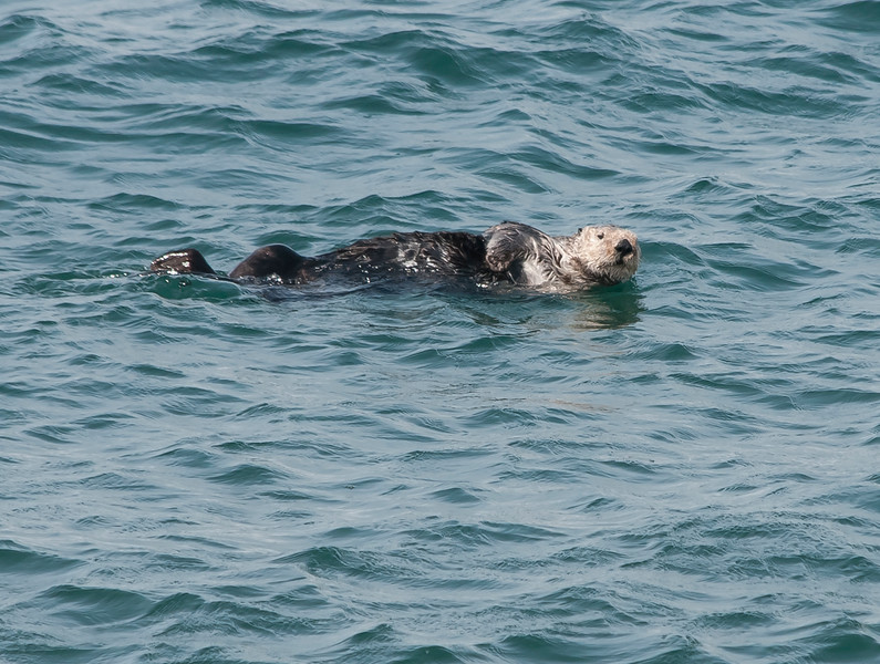 Sea otter - male