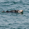 Sea otter - male