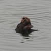 Grooming Sea Otter