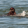 Fiesty Playful Sea Otter
