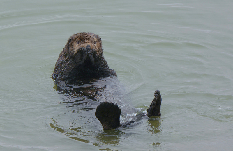 Oh no !  A very cute Sea Otter
