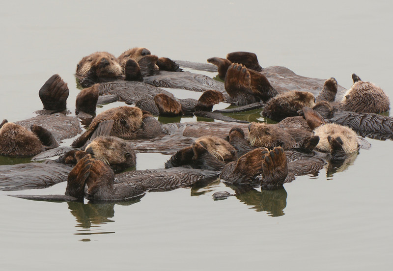 A raft of sleeping/resting Otters