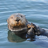 Southern Sea Otter off the Coast of Central California