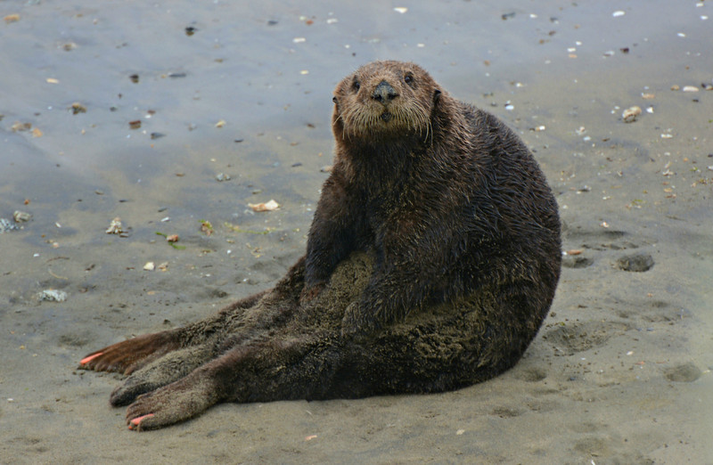 A rare cute picture of a Sea Otter on land.  The tags on his flippers are because there aren't a lot of them and they are monitored and watched in the wild.