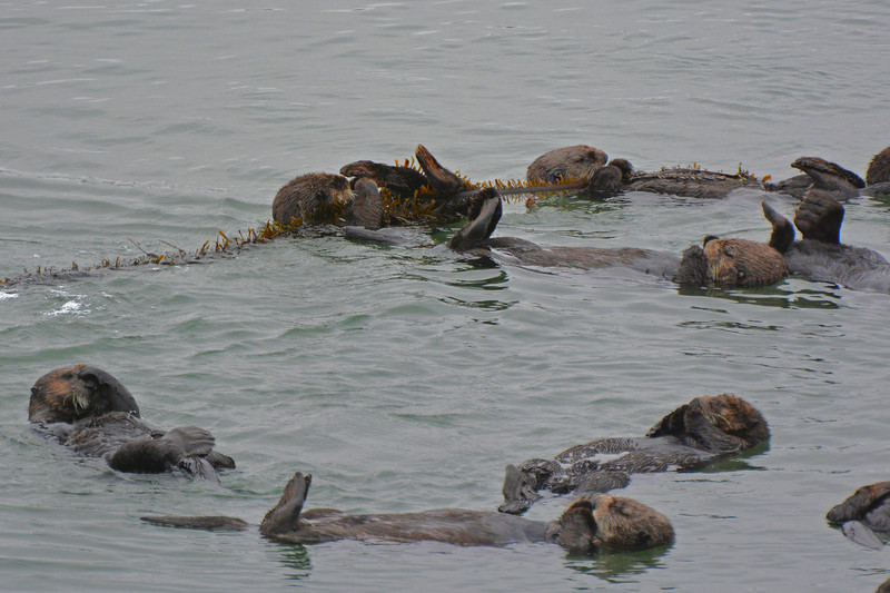 Otters hang on to kelp while they are sleeping so they don't drift away