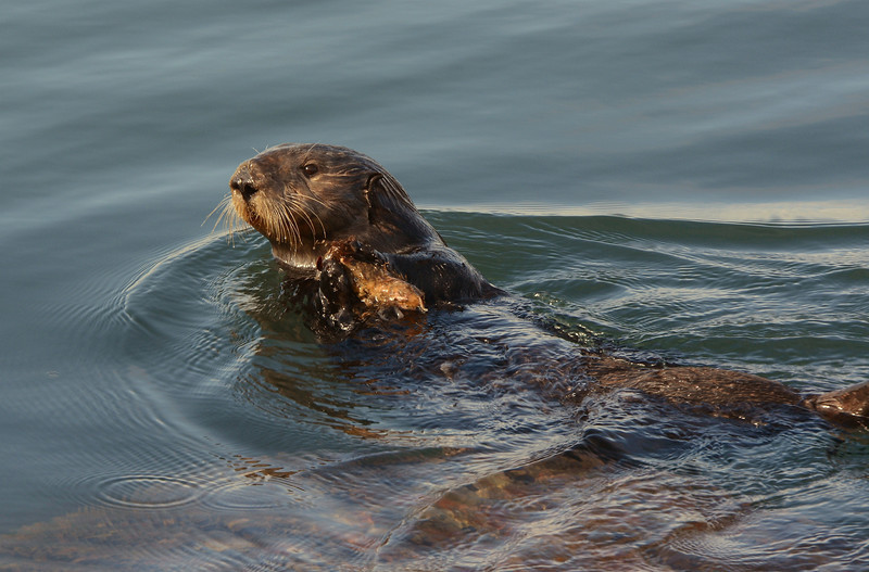 Otter with some food he just dove for
