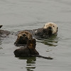 Sea Otters - grooming and watching