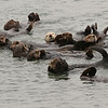 Group of Sea Otters napping