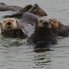 Two cute young male Sea Otters