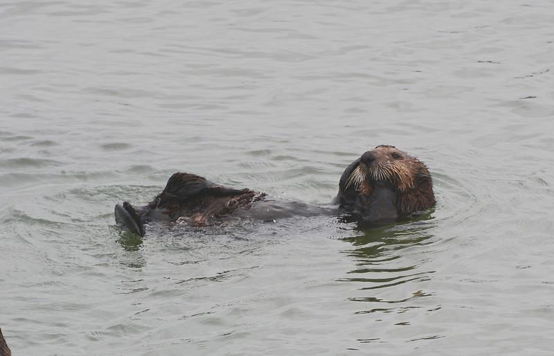 Southern Sea Otter (aka California)