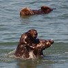 Playtime for a couple of young male Sea Otters