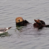 Waiting for Scraps - Birds often hang out near Otters to get scraps