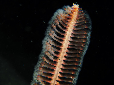 White Sea Pen
