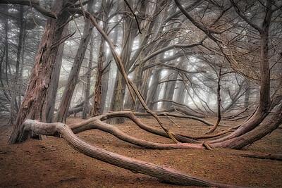 Silent Cypress, Sea Ranch, California