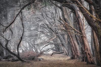 Cypress Forest & Mist, Sea Ranch, California