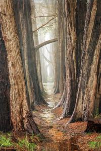 Cypress in the Rain, Sea Ranch, CA