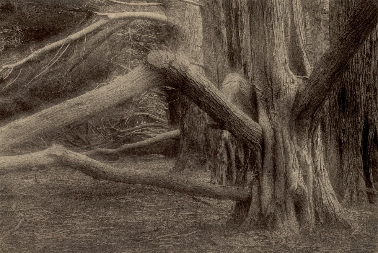Dark Cypress,  Sea Ranch, California