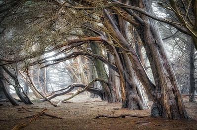 Spanning Cypress, Study 4, Sea Ranch, California