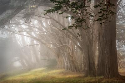 Sea Ranch Cypress