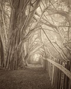 Cypress Hedgerow, Sea Ranch, California