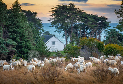 Sheep & White Barn, Sea Ranch, California