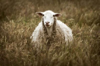 Lone Sheep, Sea Ranch, California