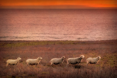 Sunset Sheep, Sea Ranch, California, 2017