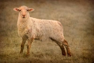 Sea Ranch Sheep, California