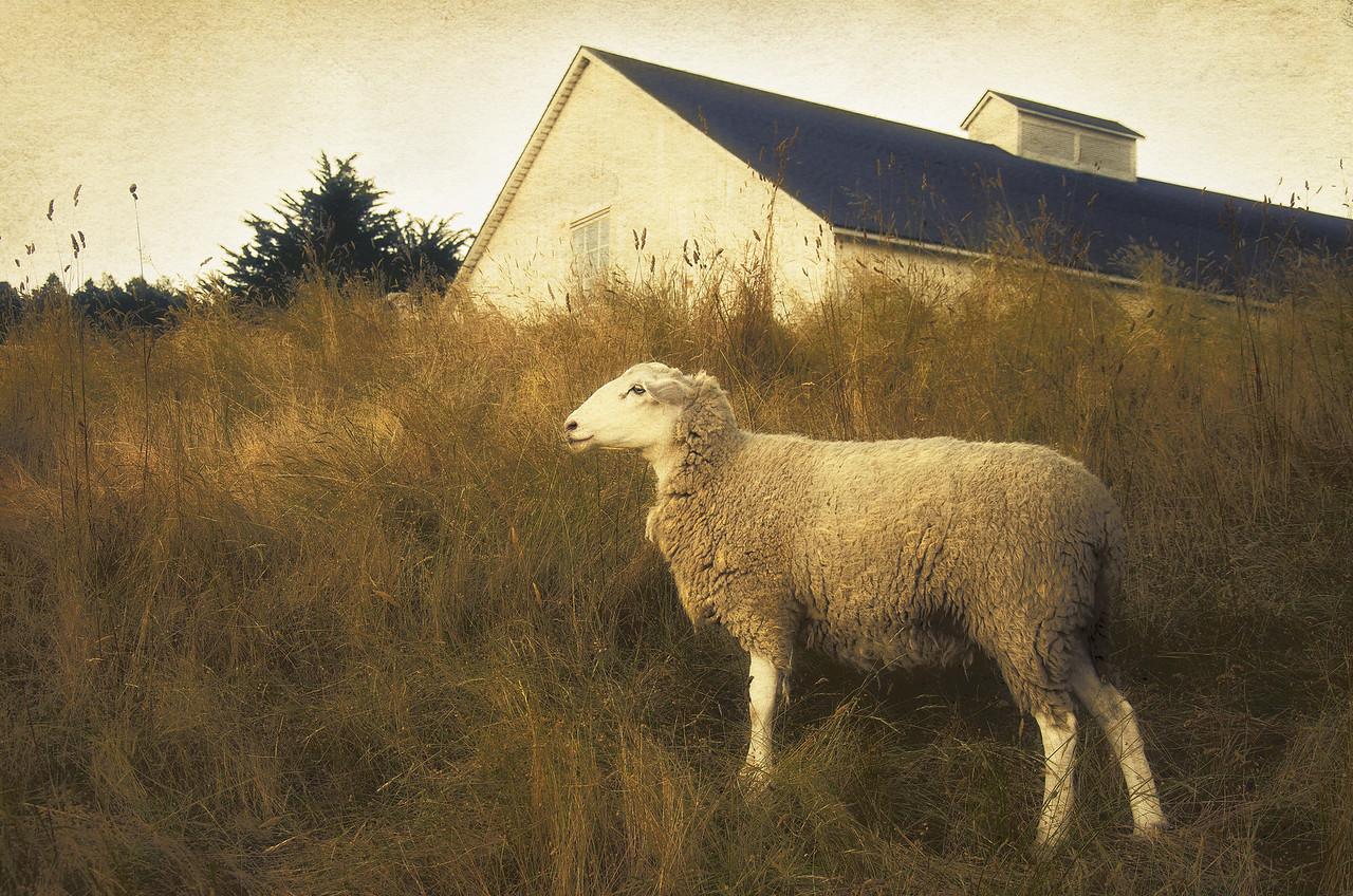 Sheep's World, Sea Ranch, California