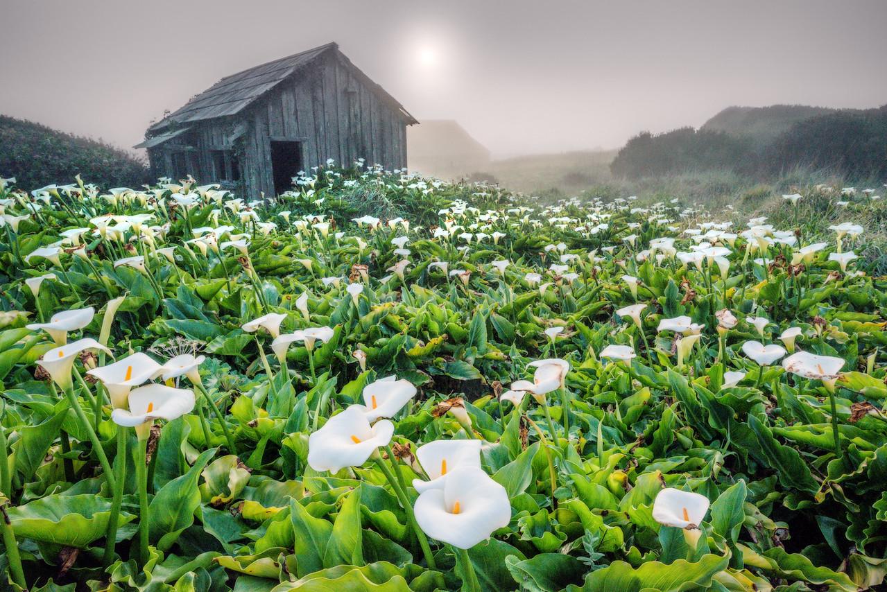 Calla Lilies in Fog, Sea Ranch, California