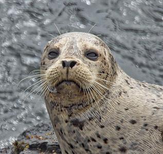 Sea Ranch Seals and Lizard 4-8-16