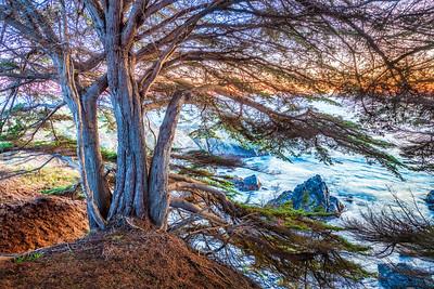 Bluff Cypress at Sunset, Sea Ranch, California