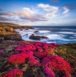 Bihler Pint & Spring Bloom, Study 5, Sea Ranch, California