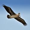 DSC_8047 -  Curley Top Pelican