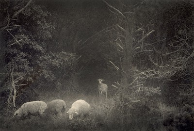 Watching Ewe, Sea Ranch, California