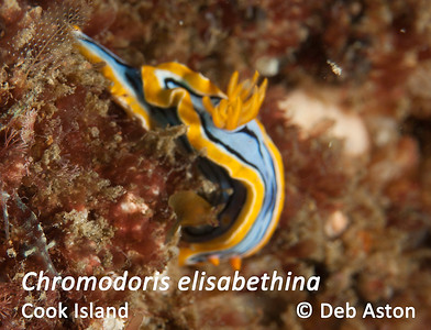 Chromodoris elisabethina