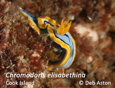Chromodoris elisabethina