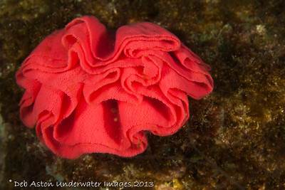 Hexabranchus sanguineus - eggs