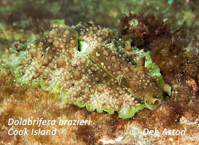 Aplysiidae - Seahares Dolabrifera brazieri