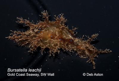Aplysiidae - Seahares Bursatella leachii