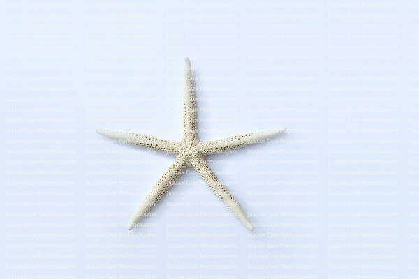White Sea Star also known as a Star Fish isolated on a light blue background
