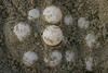 Loggerhead eggs.  The size of ping pong balls, soft and leathery.  This shows the top few eggs of the nest.  There were over 105 eggs in this nest.